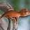 Thumbnail: Patternless Red Crested Gecko