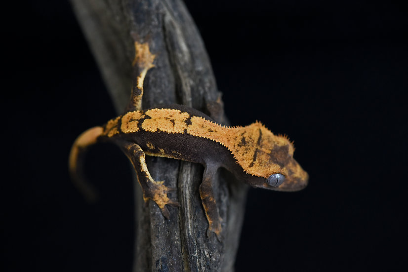 High contrast Flame Crested Gecko
