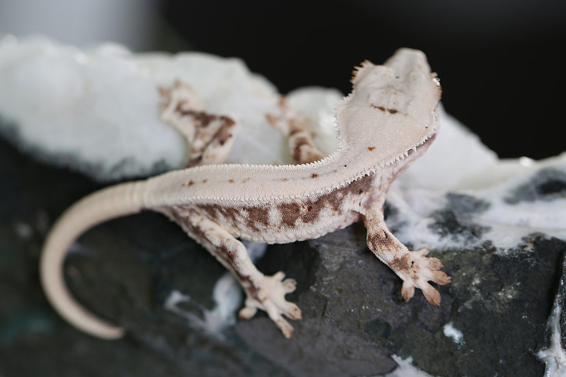 Lilly White Pinstripe Crested Gecko