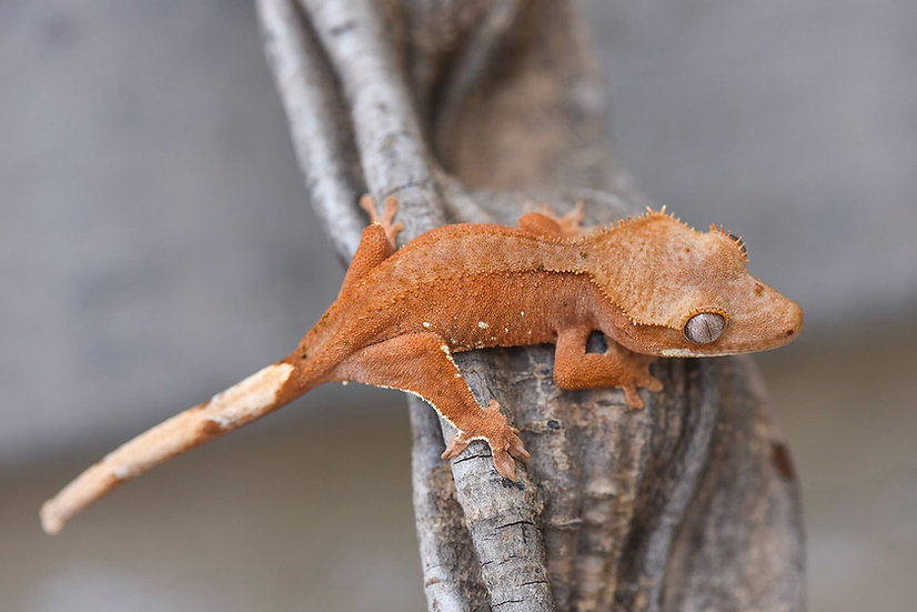Patternless Red Crested Gecko
