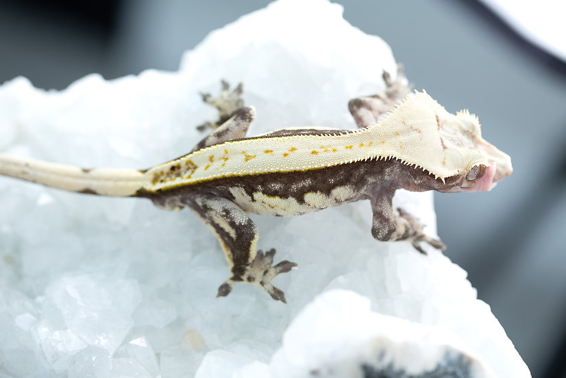 Pinstripe Crested Gecko