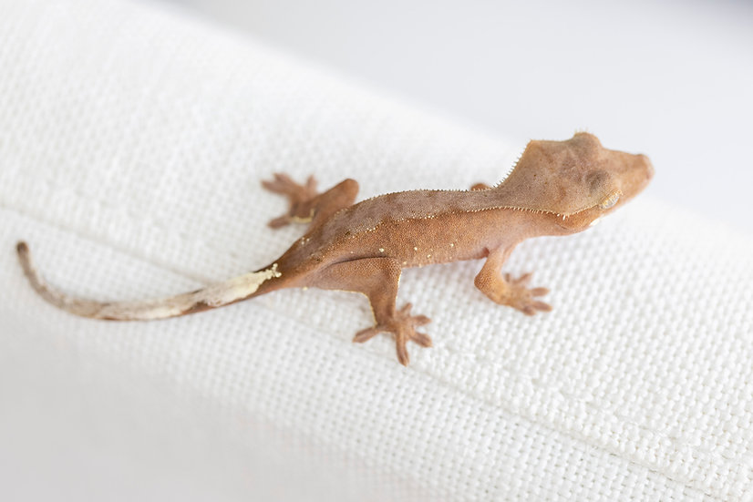 Red with White Portholes Crested Gecko