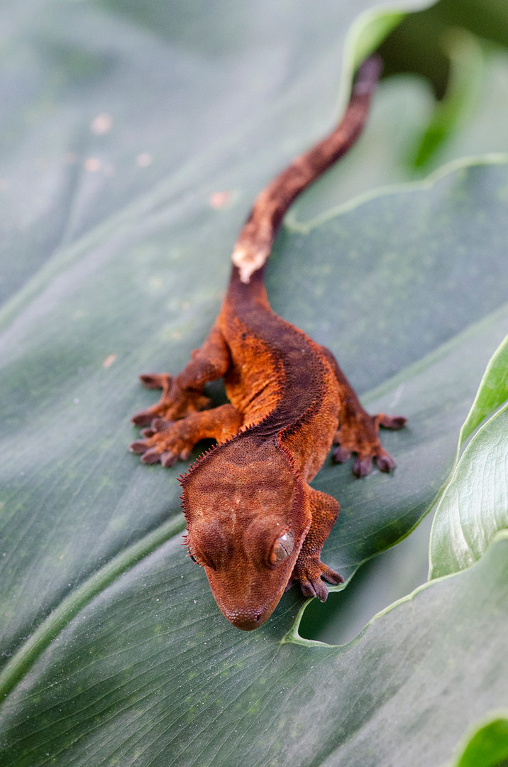 RED BICOLOR CRESTED GECKO