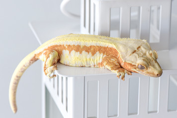 CREAMSICLE LILLY WHITE CRESTED GECKO
