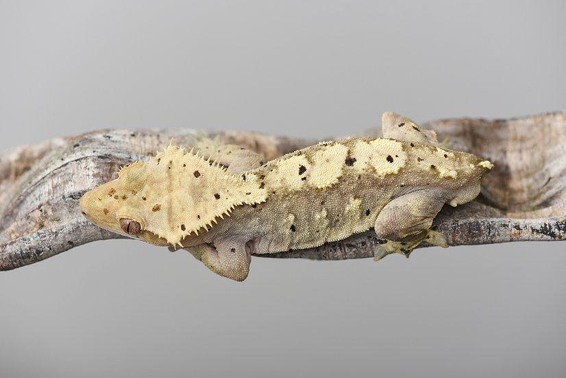 Harlequin Dalmatian Crested Gecko