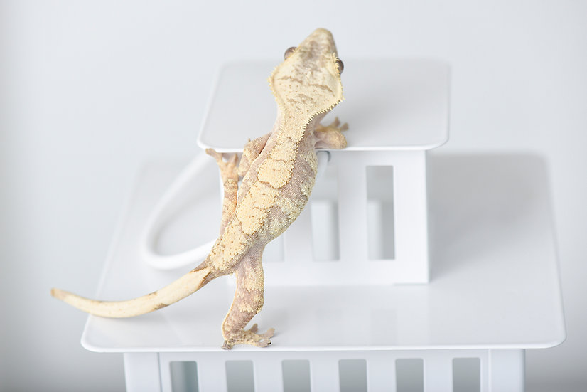 Peach/Red Extreme Harlequin Crested Gecko