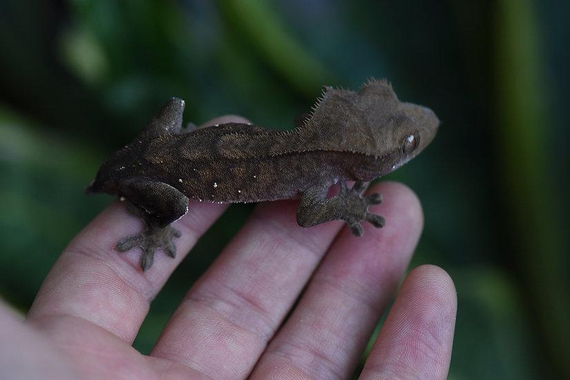 Dark Tiger Crested Gecko
