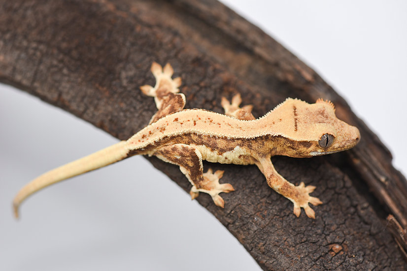 Yellow Lilly White Crested Gecko