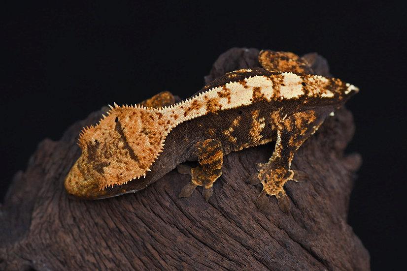 Tri-Color Harlequin Crested Gecko