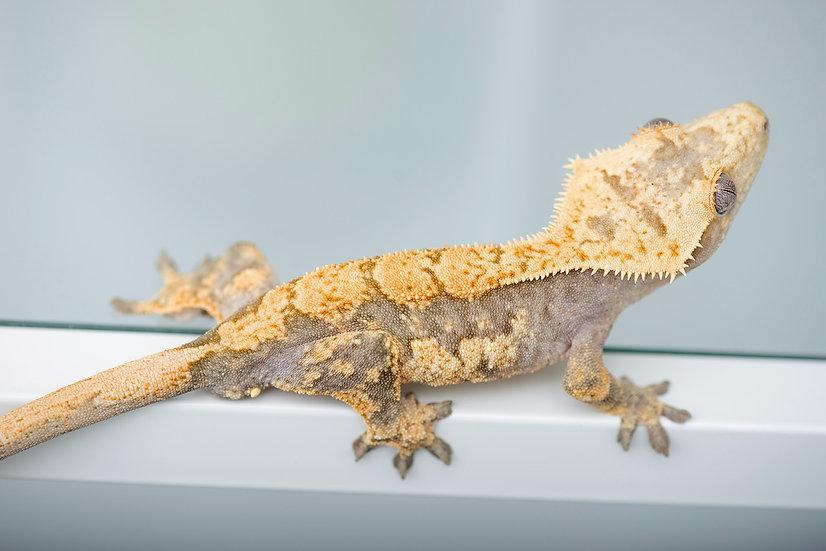 Lavender/Tangerine Harlequin Crested Gecko