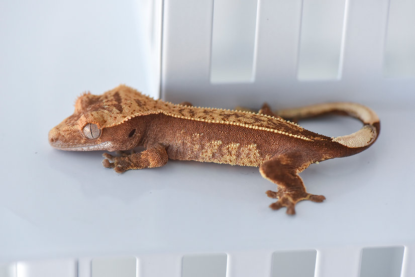 Red & Cream Pinstripe Crested Gecko