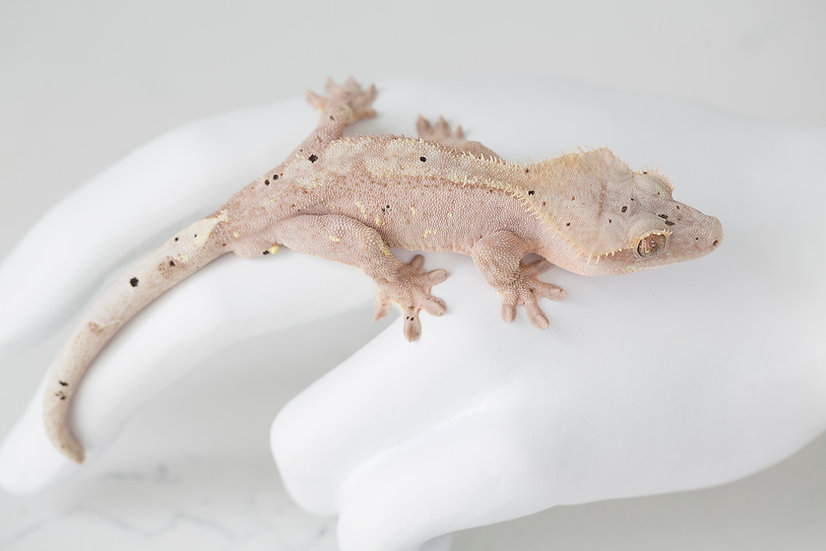 Pink Lines Dalmatian Crested Gecko