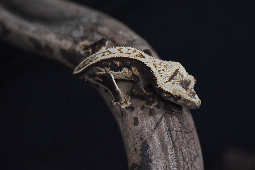 Quad Stripe Crested Gecko