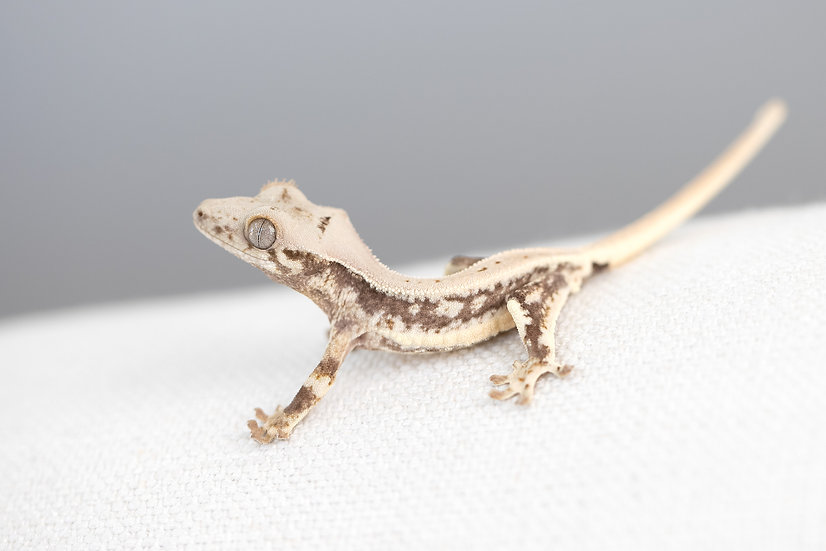 High Expression Lilly White Crested Gecko