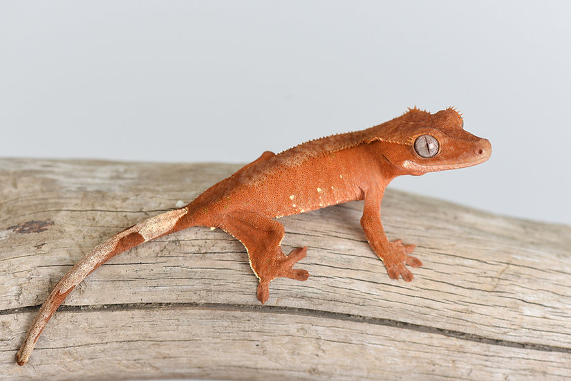 Patternless Red/White Portholes Crested Gecko