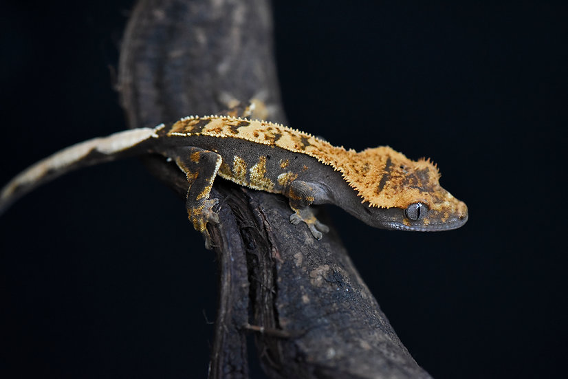 High Contrast Partial Pinstripe Crested Gecko