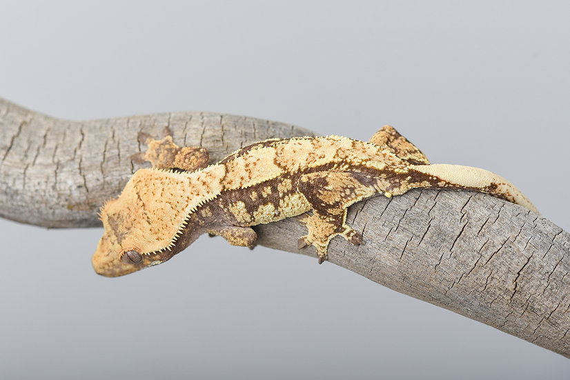 Partial Pinstripe/Harlequin Crested Gecko