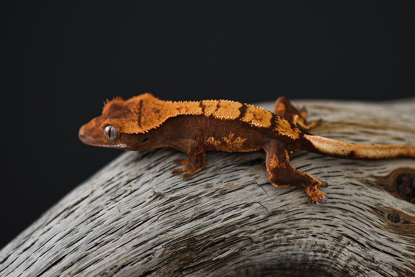 Red & Cream Harlequin Crested Gecko