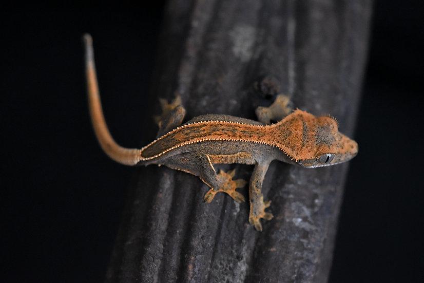 Tangerine Quad-Stripe Crested Gecko