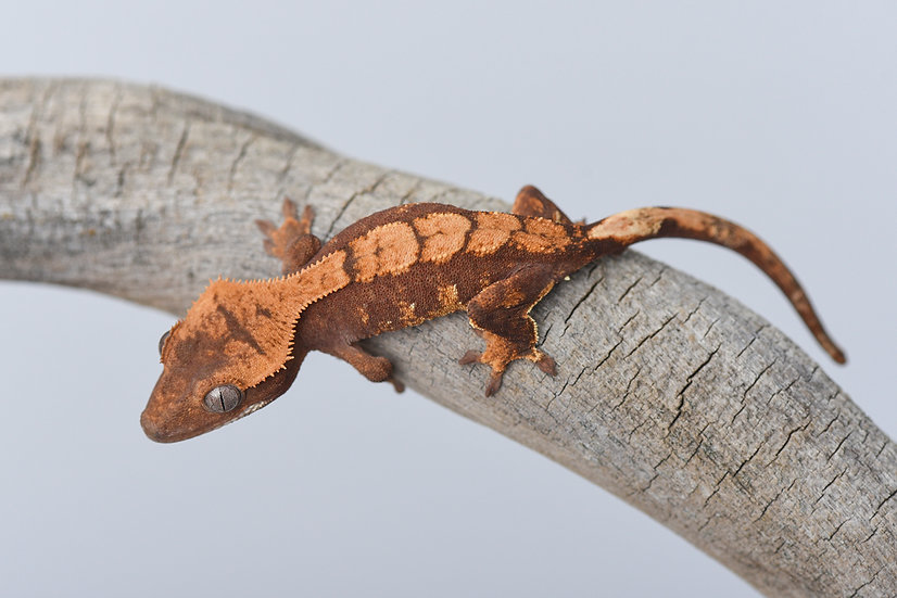 Red & Cream Harlequin Crested Gecko