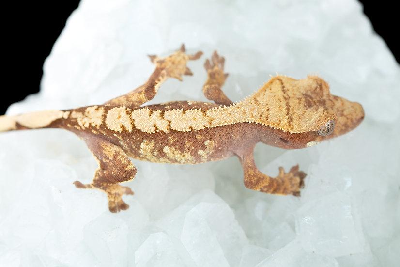 Pink Lines Harlequin Crested Gecko