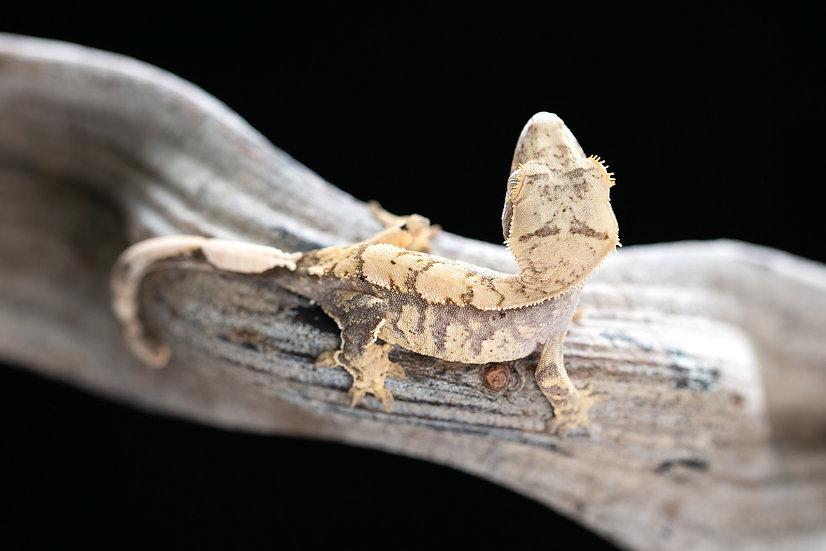 Pink Lines Extreme Harlequin Crested Gecko
