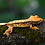 Thumbnail: Tri-Color Extreme Harlequin Crested Gecko