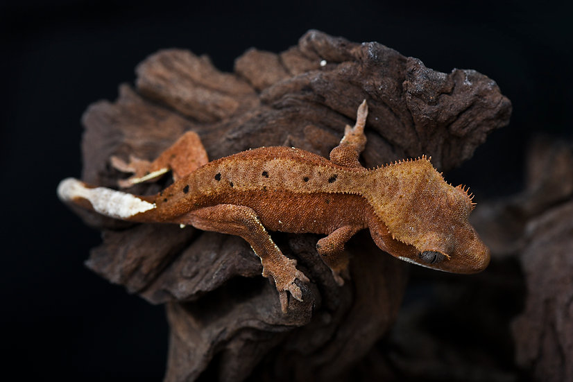 Red Dalmatian Crested Gecko