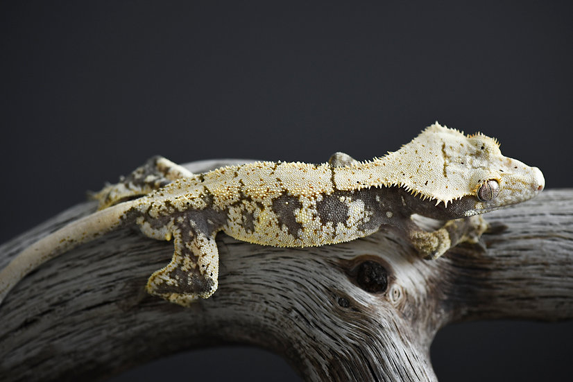 Cream Extreme Harlequin Crested Gecko