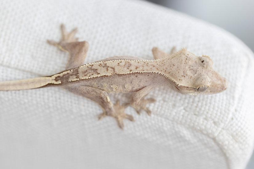 Light Base Pinstripe Crested Gecko