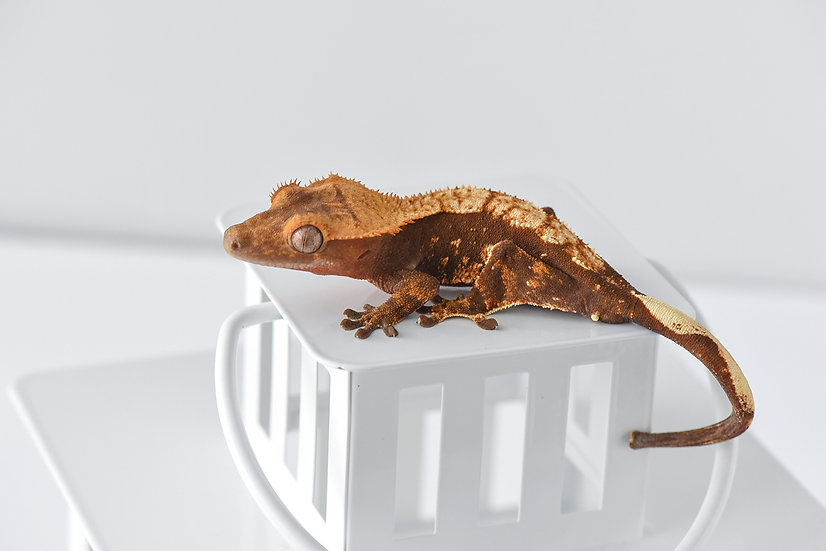 Red Harlequin Crested Gecko