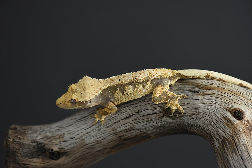 Drippy Dorsal Extreme Harlequin Crested Gecko