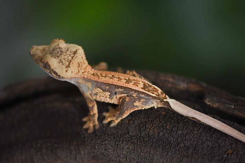 Lavender/Tangerine Pinstripe Crested Gecko