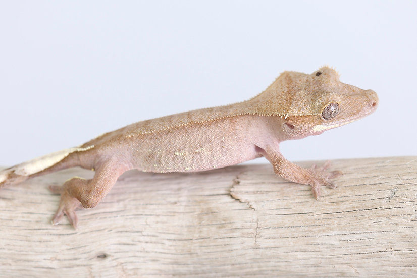 Pink/Red Line Crested Gecko