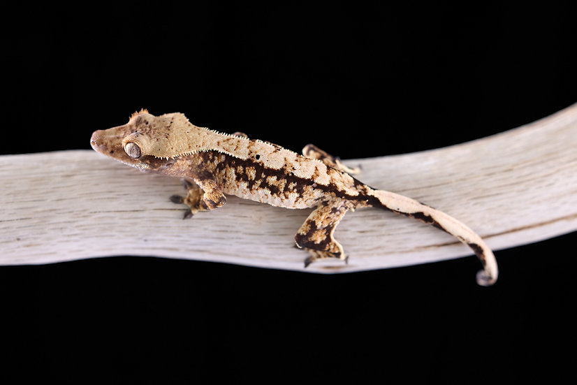 High Contrast Tri-Color Crested Gecko