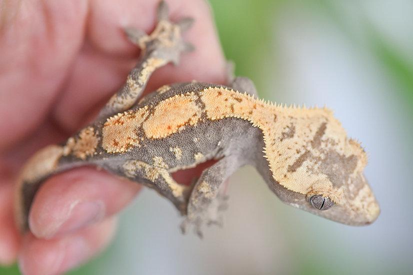 Lavender & Cream Harlequin Crested Gecko