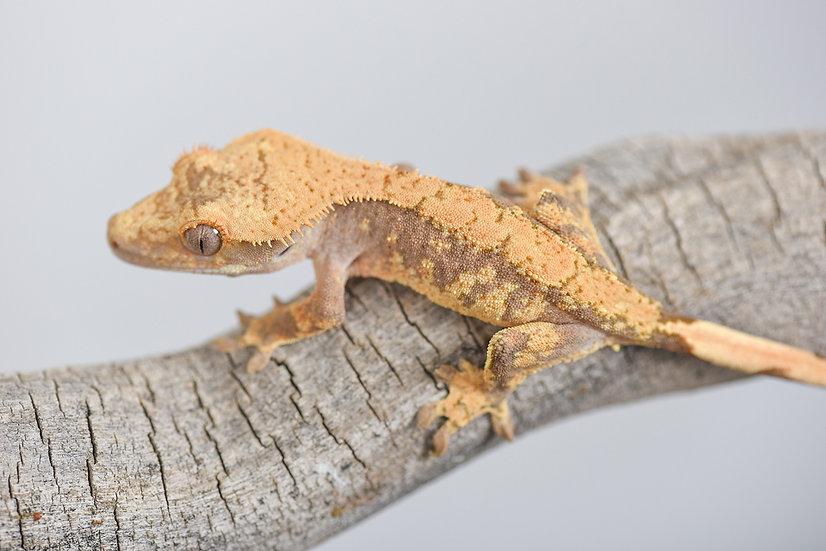 Extreme Harlequin Crested Gecko