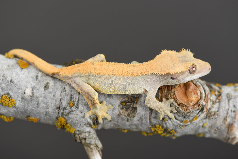 Flame Pinstripe Crested Gecko