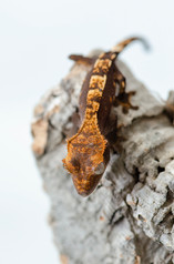 FLAME CRESTED GECKO