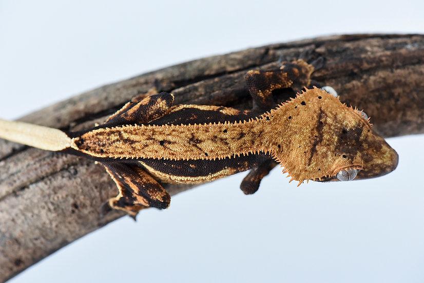 High Contrast Quad Stripe Crested Gecko