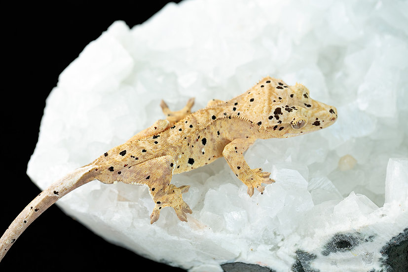 Yellow Dalmatian Crested Gecko