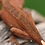 Thumbnail: Red Mardi Gras Dalmatian Crested Gecko
