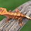Thumbnail: Red Harlequin Crested Gecko