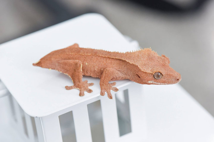 Red Phantom Pinstripe Crested Gecko