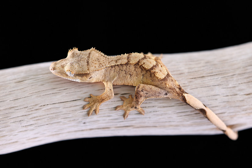 Yellow Harlequin Crested Gecko