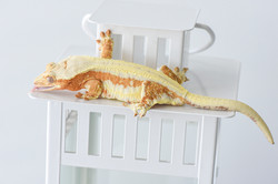 Lilly White Crested Gecko