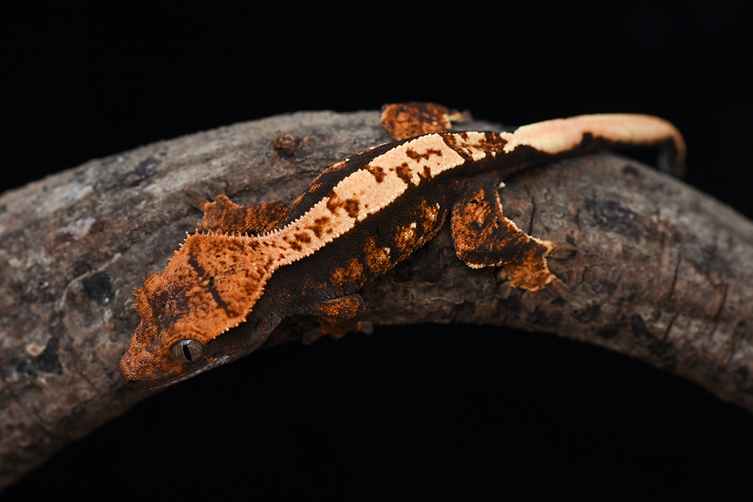 Tri-Color Harlequin Crested Gecko