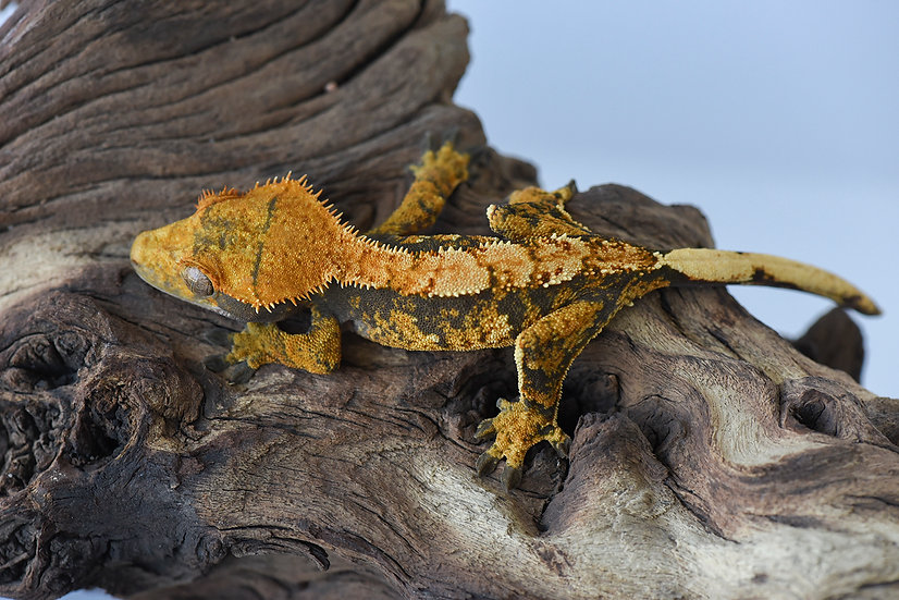 Tri Color Harlequin Crested Gecko