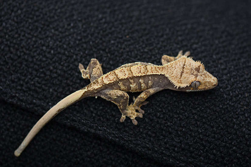 Creamy Extreme Harlequin Crested Gecko