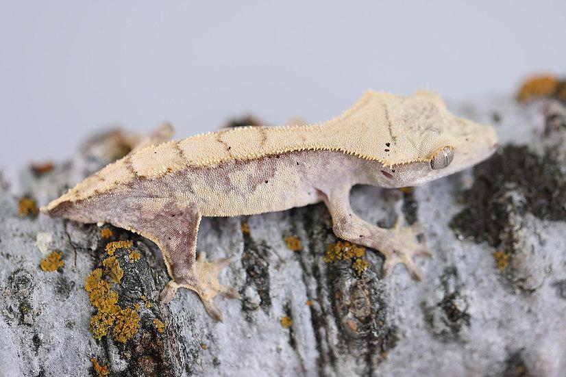Harlequin Crested Gecko